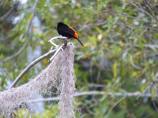 """Chirripo National Park, Costa Rica: Ramphocelus passerinii alias """"rote Turnhose"""""""