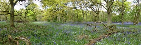Everdon, UK: Bluebells