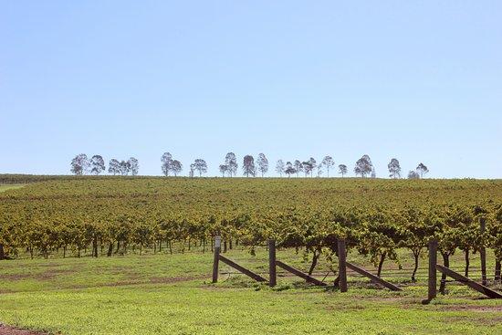 Denman, Австралия: Vines and hilltop tree line