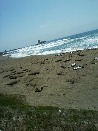Piedras Blancas: More Seals Napping
