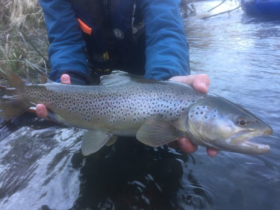Shawnigan Lake, Canadá: brown trout while swinging flies