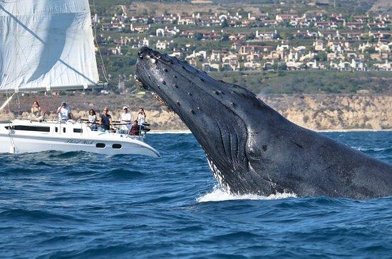 Newport Landing Whale Watching Humpback Breaching
