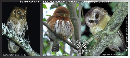 CAYAYA BIRDING highlights 2018, Unspotted Saw-whet Owl, Guatemalan Pygmy-Owl, Guatemalan Screech