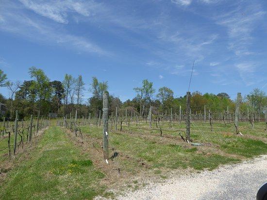 Ashton Creek Vineyard: Vines