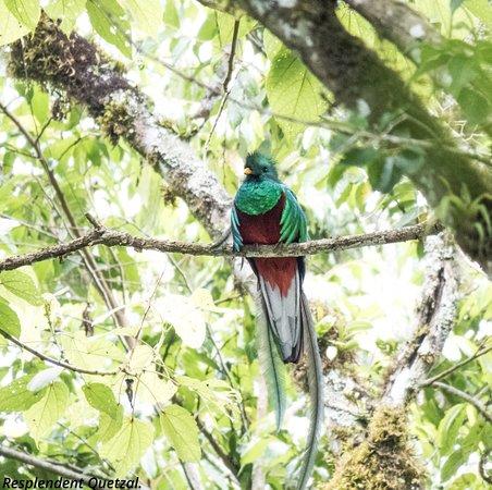 Resplendent Quetzal. Fotografiado en Santiago Atitlan, La casa de los pajaros, mayo 2018.