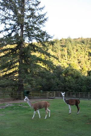 Paradise Valley Springs Wildlife Park: The cheeky alpacas.
