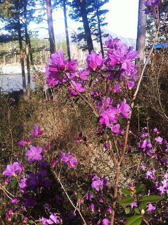 Elekmonar, روسيا: Цветущий маральник