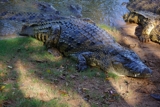 Crocworld Conservation Centre: they r realy big