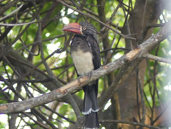 Bwanje, Malawi: Red Billed Hornbill at Ntchisi Forest, Ntchisi Forest Lodge, Malawi