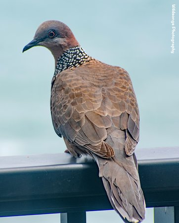 Sealodge at Princeville: Daily visitor to our condo balcony!