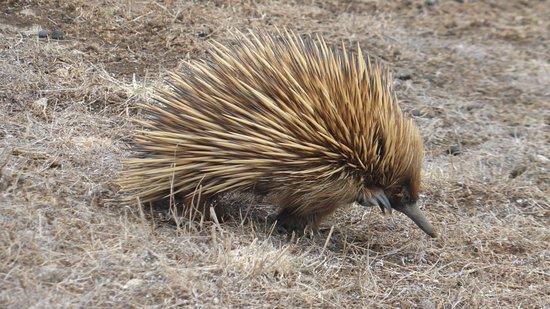 Hanson Bay Wildlife Sanctuary: Echidna