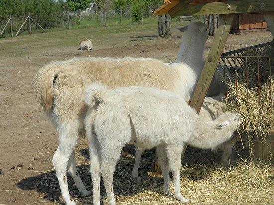 Llama In My Living Room - Picture of Zoo Safari, Poddebice - TripAdvisor