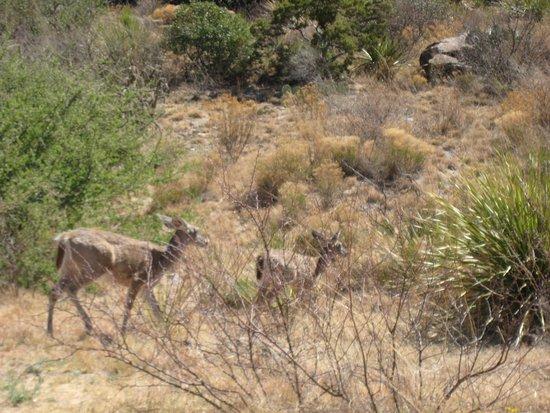 Alpine, Teksas: Deer
