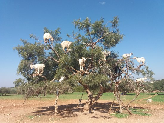 Casablanca, Marruecos: Spectacular view of the goats on the Argan tree