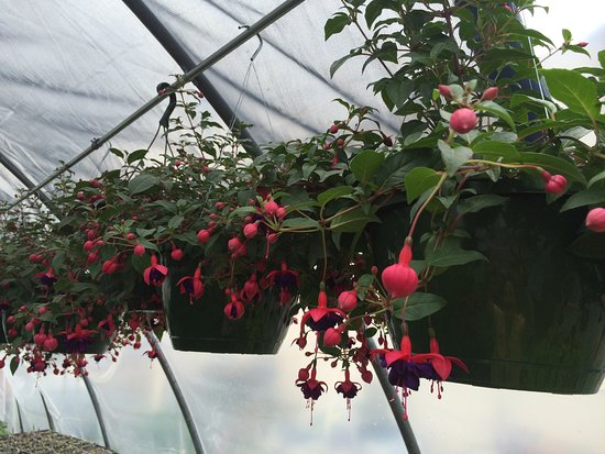 Madison Heights, Βιρτζίνια: Many hanging plants are available in the spring. Fuchsias are a favorite