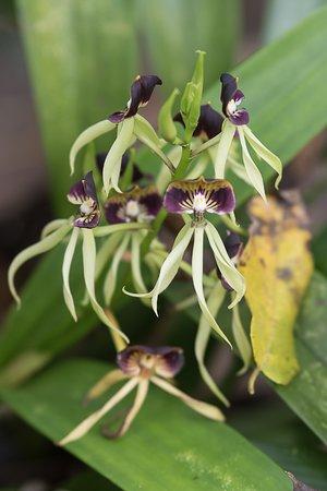 Black Orchid The National Flower Of Belize Picture Of Jaguar