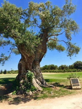 Messenia Region, Greece: Uno degli ulivi centenari lungo il percorso