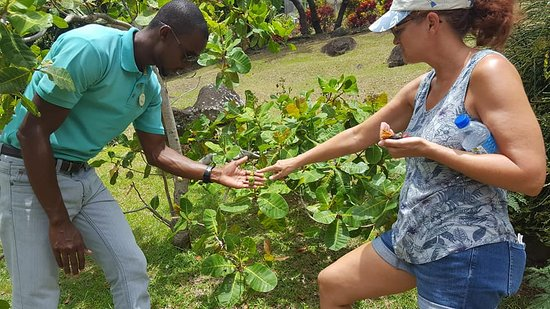 Belmont, Grenada: Did you know that cashews come from a fruit?