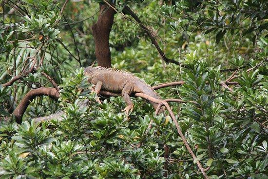 Arch's Iguana & Marine Park: Leguan auf dem Baum