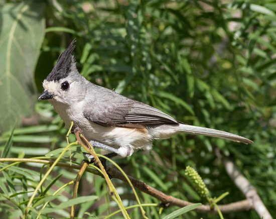 Texas Gulf Coast, TX: tufted titmouse