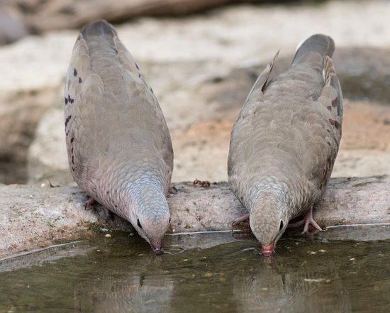 Texas Gulf Coast, TX: and two doves
