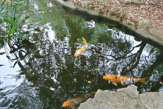 Zilker Botanical Garden: fish in the water pool in the Japanese Garden