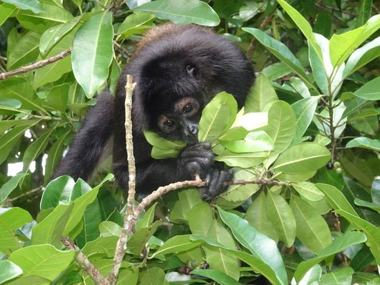 Monkey River Town, Belize: One of our local Howler Monkeys came to visit our guests!