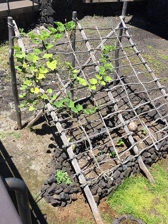 Honaunau, Hawái: How they grew plants and vegetables