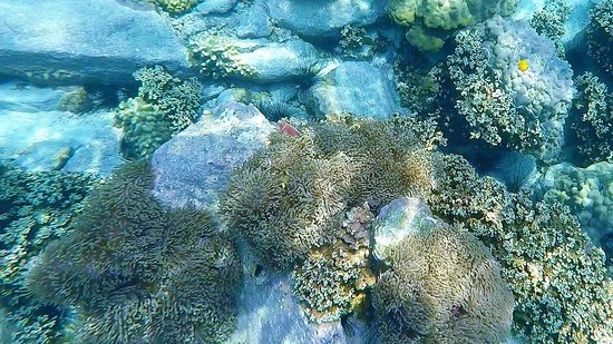 Koh Mak Divers: Some of the coral and marine life we saw - Clownfish