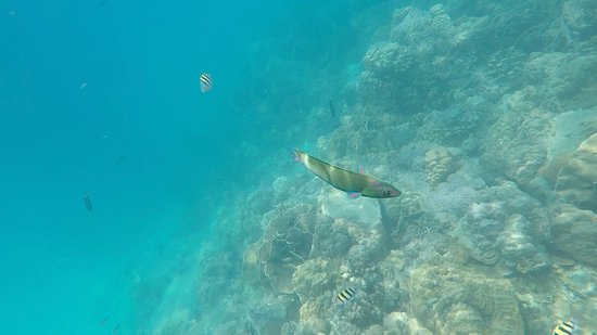 Koh Mak Divers: Some of the coral and marine life we saw - moon wrasse