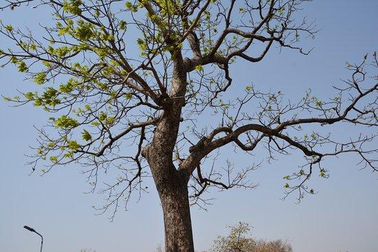 Chausat Yogini Temple: The trees sorrounding the chausat Yogigni temple..cotton tree