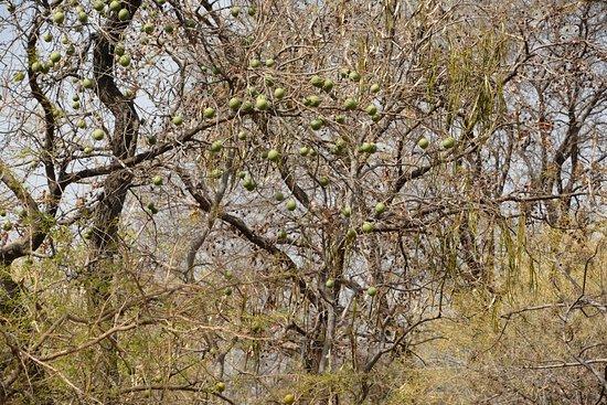 Chausat Yogini Temple: The trees sorrounding the chausat Yogigni temple..the Ber tree