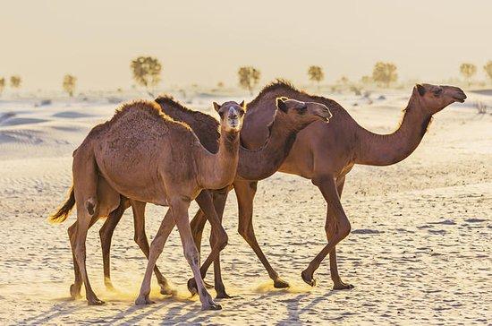 Dubai Desert Morning Tour in 4WD Vehicle: Camel Ride, Quad Bike Tour...