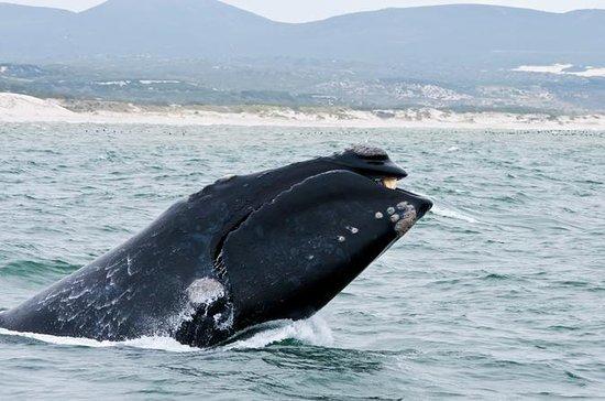 Whale Watching Boat Trip com traslados...