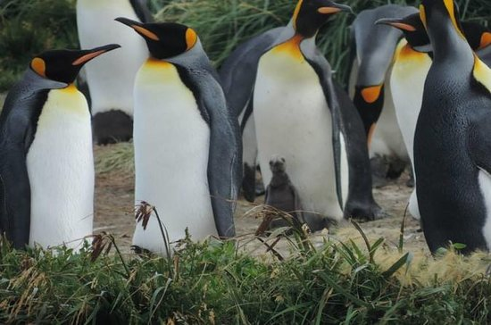 FULL DAY KING PENGUIN COLONY...