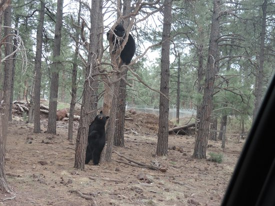 Williams, AZ: Bears playing in the Trees