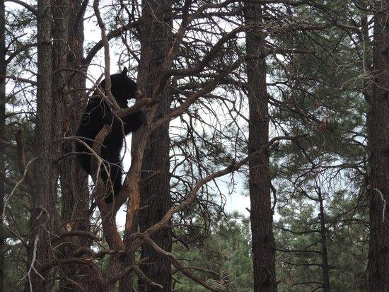 Williams, AZ: Bear climbing tree