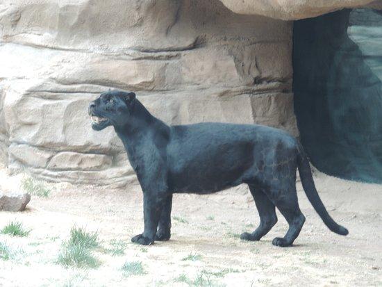 Williams, AZ: Black Jaguar