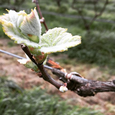 Martinborough, Neuseeland: Budburst