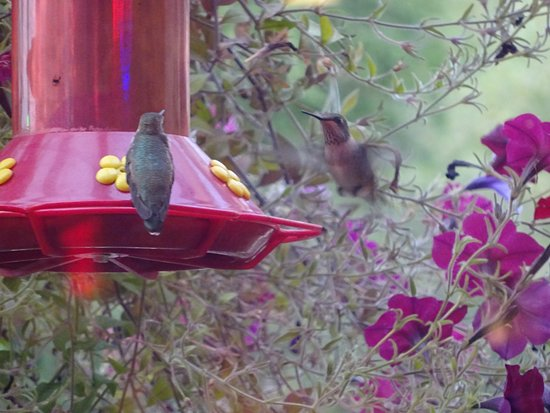 Thunderbird Restaurant: kolibris