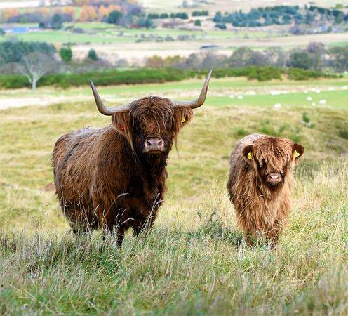 Aberdeenshire Highland Beef Highland Cows
