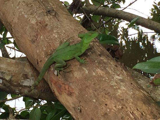 Cahuita, Kosta Rika: Basilisco hembra