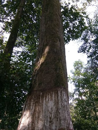 Samse, India: Tallest and thickest tree in the forest..