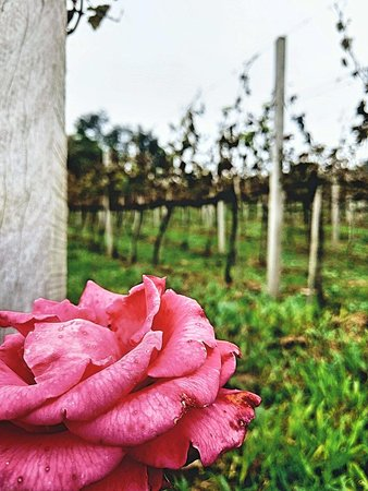Vinícola Torcello: Rosas lindíssimas