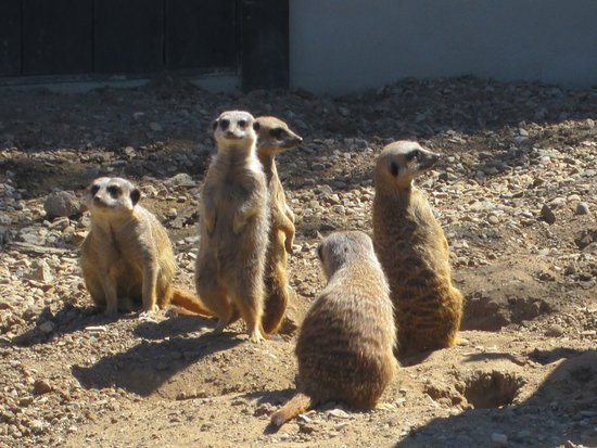 Filey Bird Garden & Animal Park: Meerkats