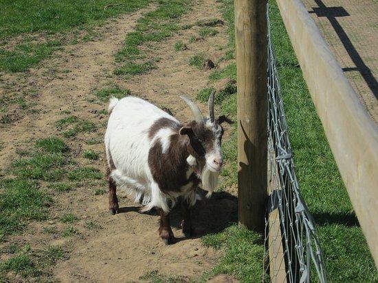Filey Bird Garden & Animal Park: Goat