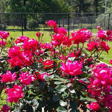 Gardens of the american rose center shreveport aktuelle 2018 lohnt es sich for The gardens of the american rose center
