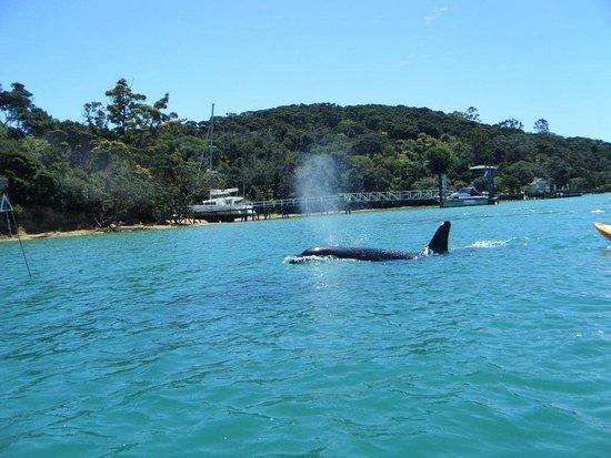 Kawau Island, นิวซีแลนด์: Whales in the bay in front of Kawau Lodge