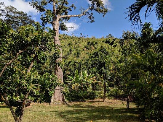 Estate Mount Washington Plantation : Silk cotton tree on the estate.