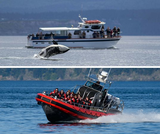 Friday Harbor, WA: Two boats, two great whale watching adventures in the San Juan Islands!